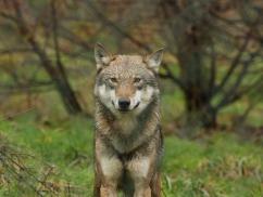 De wolf is terug in Nederland