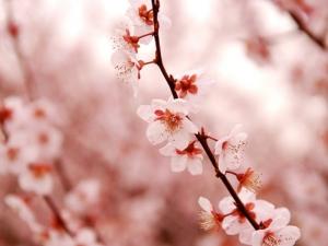 Kersenbloesem - Tien dagen